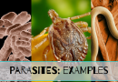 Examples of Parasitism